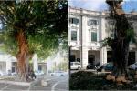 Messina, cede lo storico albero di piazza del Popolo - Le immagini