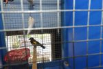 Cardellini in gabbia senza autorizzazioni, una denuncia a Cirò Marina