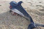 Macabra scoperta sulla spiaggia di Pizzo, trovato un delfino decapitato