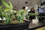 Cannabis terapeutica,per agenzia Ue poche evidenze efficacia