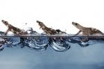 Il geco corre sul pelo dell'acqua (fonte: Pauline Jennings, PolyPEDAL Lab, UC Berkeley)