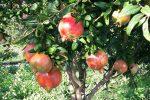 Boom di coltivazione di melograno in Sicilia, nascono i consorzi