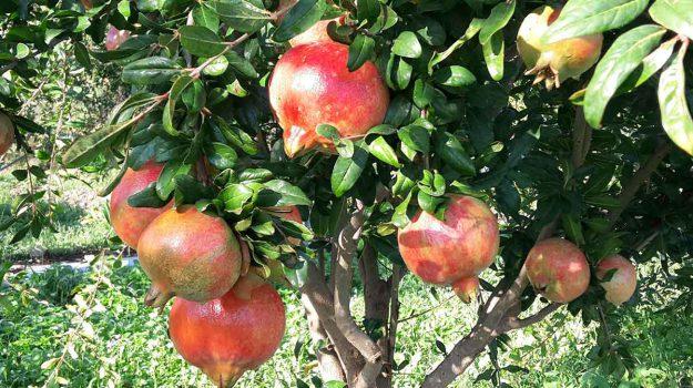 agricoltura in sicilia, melograno sicilia, spremute melograno, Sicilia, Economia