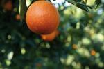 Fondi per l'agricoltura, alla Sicilia 1 milione e mezzo per gli agrumeti caratteristici