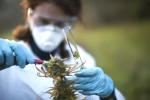 L'analisi su un campione di cannabis