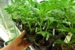 Lamezia, cannabis light nei distributori automatici: scattano denunce