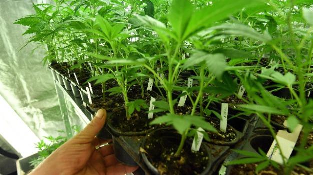 cannabis light, lamezia, Catanzaro, Calabria, Cronaca