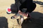 Trapani, tartaruga rimane incastrata in una rete: salvata dai carabinieri