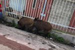 Ancora cinghiali in cerca di cibo a Messina, Tremonti invasa: le foto