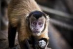 Cina, scimmie modificate con geni del cervello umano: ora sono più intelligenti