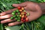 Semi di una delle più comuni varietà di caffè, l'Arabica (fonte: Aaron Davis, RBG Kew)