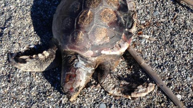 litorale pizzo, tartaruga caretta caretta, tartaruga morta pizzo, Catanzaro, Calabria, Cronaca