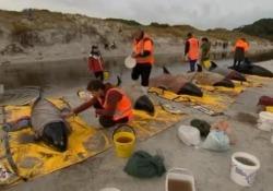 Corsa contro il tempo per salvare dieci mammiferi a Ninety Mile Beach, in quattro non ce la fanno