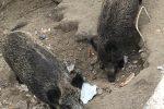 Invasione di cinghiali nel cimitero di Sorianello, tombe danneggiate
