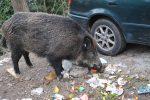 Emergenza cinghiali in Calabria, attestati a 53 cacciatori esperti nell'abbattimento