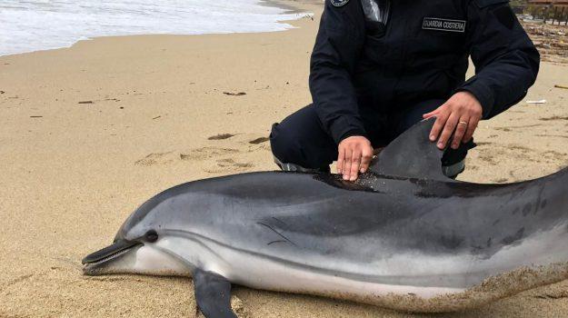 delfino calabria, delfino spiaggiato nicotera, nicotera delfino, Catanzaro, Calabria, Cronaca