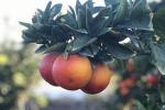Via della Seta, le arance rosse siciliane prendono il volo per la Cina