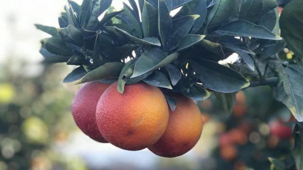 arance siciliane, via della seta, Luigi Di Maio, Sicilia, Economia