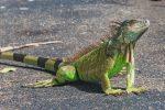 Roggiano Gravina, iguana tenuta in casa senza autorizzazioni: scatta il sequestro
