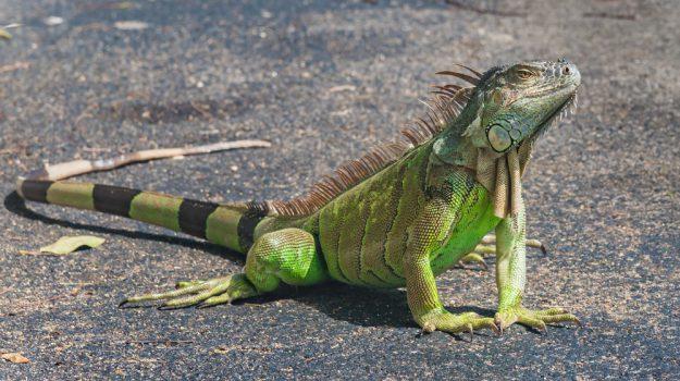 iguana in casa, sequestro roggiano, Cosenza, Calabria, Cronaca