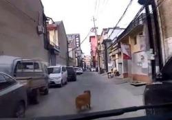 La scena dalla Cina: il Golden Retriever ha guidato i soccorsi in un districato groviglio di vicoli