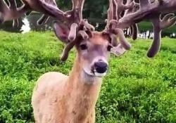 Le corna di questo cervo di 180 kg in Pennsylvania misurano complessivamente tredici metri