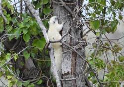 Si tratta di un esemplare di scoiattolo «variabile». Le immagini di Andrea Sorrentino virali sui social