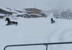 Gli animali adorano scorrazzare nella neve che li ricopre per oltre metà del loro corpo