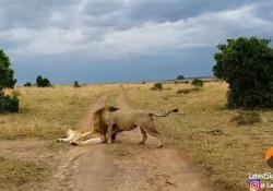 Le immagini nella riserva del Masai Mara, in Kenya