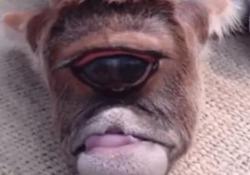 Nel distretto del Bardhaman è nato un vitello con un occhio solo
