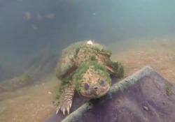 Quando fuori dall'acqua questi animali sono però aggressivi