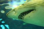 Conoscere il Dna dello squalo bianco aiuterà a tutelarlo dal rischio di estinzione (fonte: Pixabay)