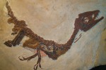Il baby dinosauro Ciro esposto a Benevento (fonte: Ghedoghedo)