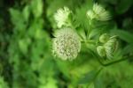 La pianta Angelica keiskei koidzumi, dala quale sono estratte le nuova sostanze anti-invecchiamento (fonte: Pixabay)