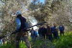 Imparare la potatura degli olivi: una giornata nei campi a Palermo