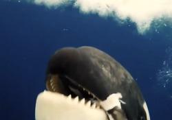 Antartide, faccia a faccia con l'orca: il sorprendente video girato nel mare di Ross Il filmato è utile per studiare i cetacei - Corriere Tv
