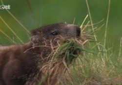 Corri marmotta, il documentario per salvare l'animale simbolo delle Dolomiti Il progetto per fermare la strage di questi bellissimi animali - Corriere Tv