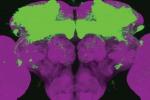 In verde l'area del cervello di un moscerino della frutta nella quale è attivo il gene nemuri (fonte: The University of Pennsylvania)