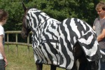 Cavalli mascherati da zebre rivelano il segreto delle strisce (fonte: Tim Caro, Bristol University)