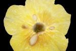Il meccanismo che controlla il sapore aspro dei limoni è lo stesso che controlla il colore dei fiori (fonte:Pamela Strazzer, Shuangjian Li, Ronald Koes)