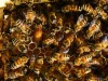 La dieta influisce sulla dimensione del cervello delle api
