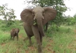 L'incontro durante un safari nel Kruger National Park