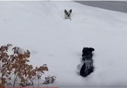Il cucciolo è intrappolato nella neve. Ma arriva qualcuno in suo soccorso Le immagini divertenti riprese a Durango, in Colorado - Corriere Tv