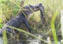 La lotta tra i due rettili filmata nel Parco nazionale delle Everglades