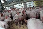 La febbre suina preoccupa il Giappone, 15 mila maiali da abbattere