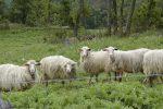 Strage di ovini a Squillace, forse in azione un branco di lupi: 10 gli animali uccisi