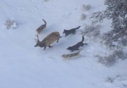 La battaglia ripresa nel Parco nazionale di Yellowstone