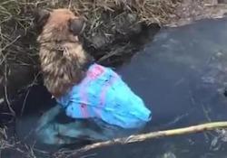 Un cane legato e chiuso un sacco viene gettato in un canale: un passante lo salva La scena filmata a Galatone, in provincia di Lecce - Corriere Tv
