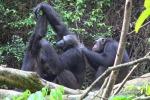 Scimpanzé nel parco nazionale Loango, nel Gabon (fonte: Tobias Deschner/Loango Chimpanzee Project)