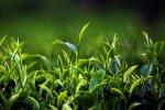Il tè verde aiuta a lottare contro l'obesità